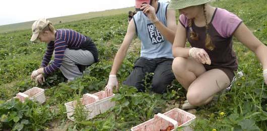 Praca przy zbiorze truskawek